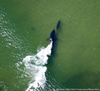 The chase is on in this aerial image taken during a great-white-shark-survey off Cape Cod. A shark pursues its prey north of Nauset Inlet. According to the Atlantic White Shark Conservancy, the seal was lucky enough to get away.