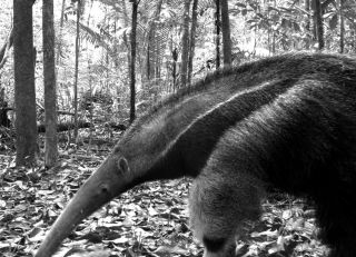 A giant anteater in the wild