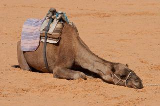 camel, sick, mers