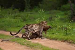 A leopard with prey