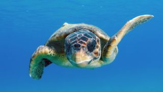 a loggerhead sea turtle swimming forward toward front-of-frame through bright blue water