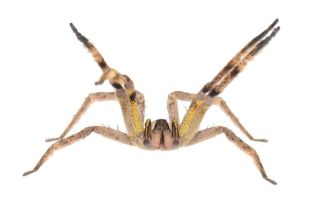 spiders, arachnids, arachnophobia, toxicity, deadliest spider