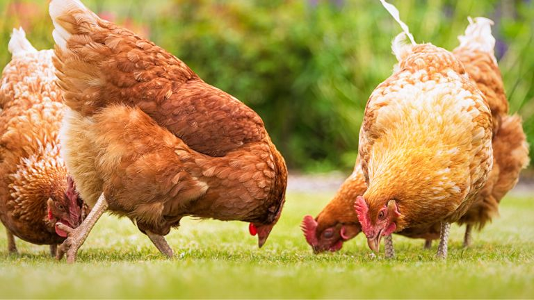 guide to keeping chickens in a garden