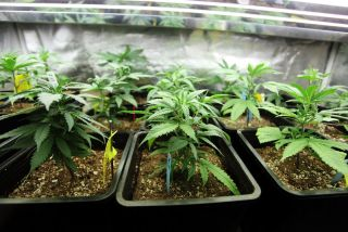 marijuana plants growing indoors