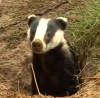 A controversial plan to kill as many as 5,000 wild badgers is underway in southwest England as of September, 2013.