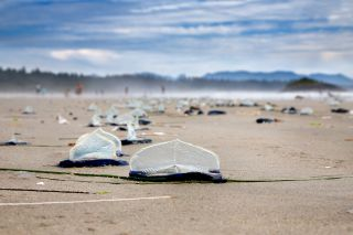 A raft of by-the-wind sailor jellyfish wash up on Vancouver Island, Canada.