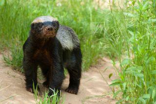 Honey badger staring at the camera.