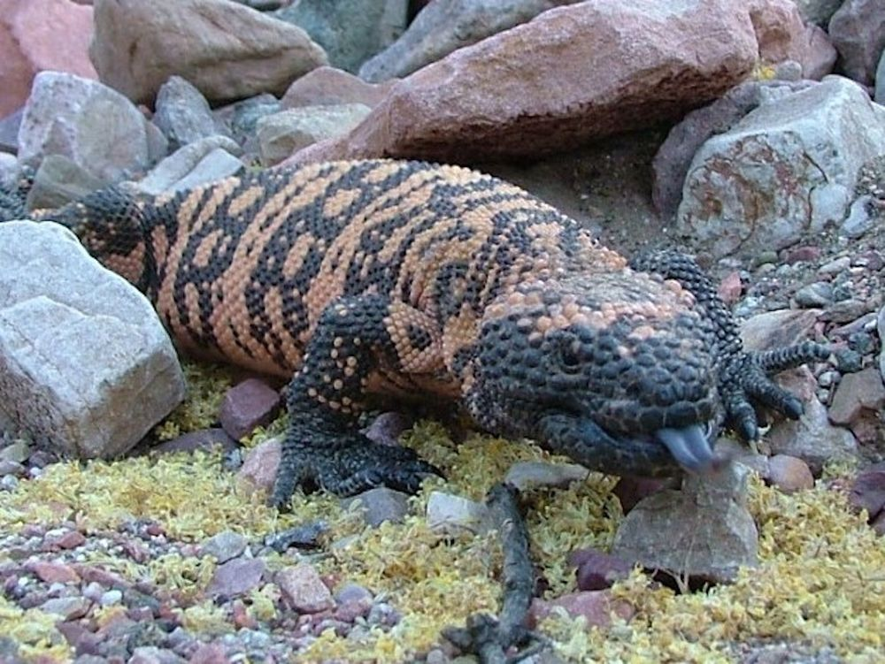 Gila Monster Photos: The Sluggish and Scaly Sweethearts of