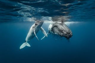 A humpback whale and its calf.