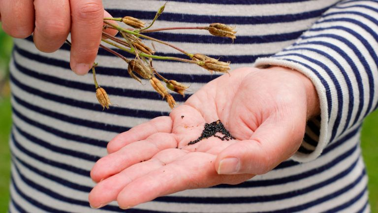collecting seeds from flowers - aquilegia flower seeds