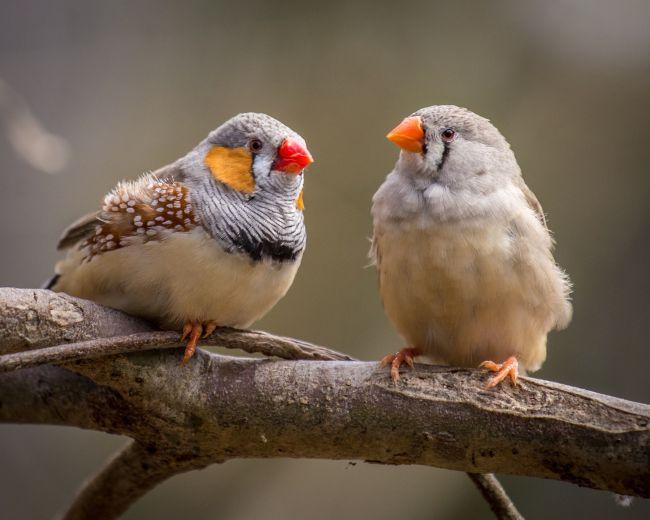 Cientistas implantam falsas memórias no cérebro de pássaros