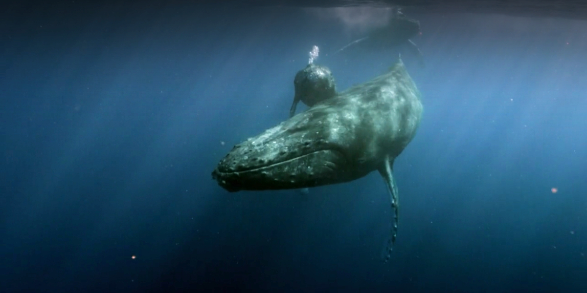 Humpback whales in Giants Of The Deep Blue