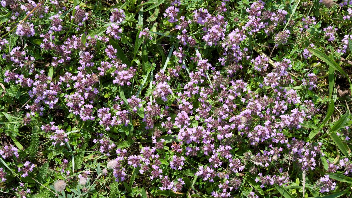 Patchy lawn? Consider planting it with this herb, says garden expert Arthur Parkinson
