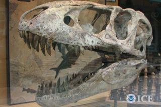 Tarbosaurus skull, fossils, smuggling