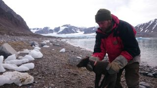 A researcher fits a satellite tracking collar onto a female arctic fox in Spitsbergen, Svalbard.