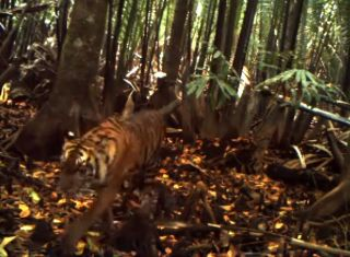 One of the tiger cubs caught on camera.