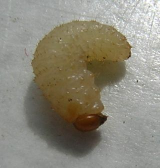 maggot, white maggot, medical maggot