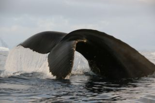 Humpback Whale in Antarctic waters.