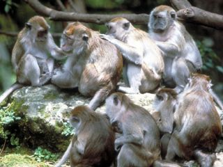 Crab eating macaques (Macaca fasciularis) an Old World monkey that lives in large, stable multi-male multi-female groups.
