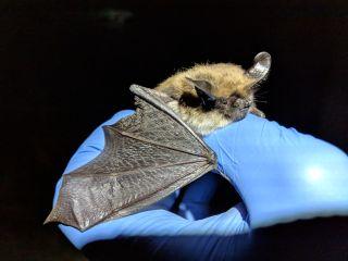 Bat Myotis evotis