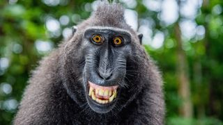A macaque grins at the camera.