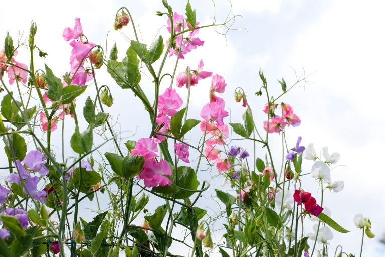 Monty Don's top tips on planting sweet peas