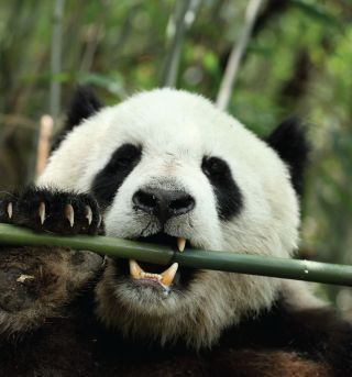 giant panda diet, bamboo digestion, digestion gut microbes, gut bacteria digestion, panda but, carnivore and herbivore, herbivore gut batcteria, herbivore specialization, ruminants, bamboo diet, cellulose digesting enzymes,