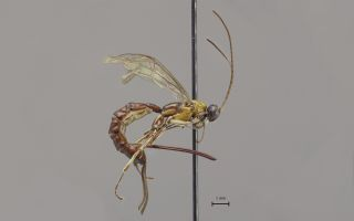 A newly discovered wasp from the Amazon.