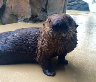 Mishka the sea otter