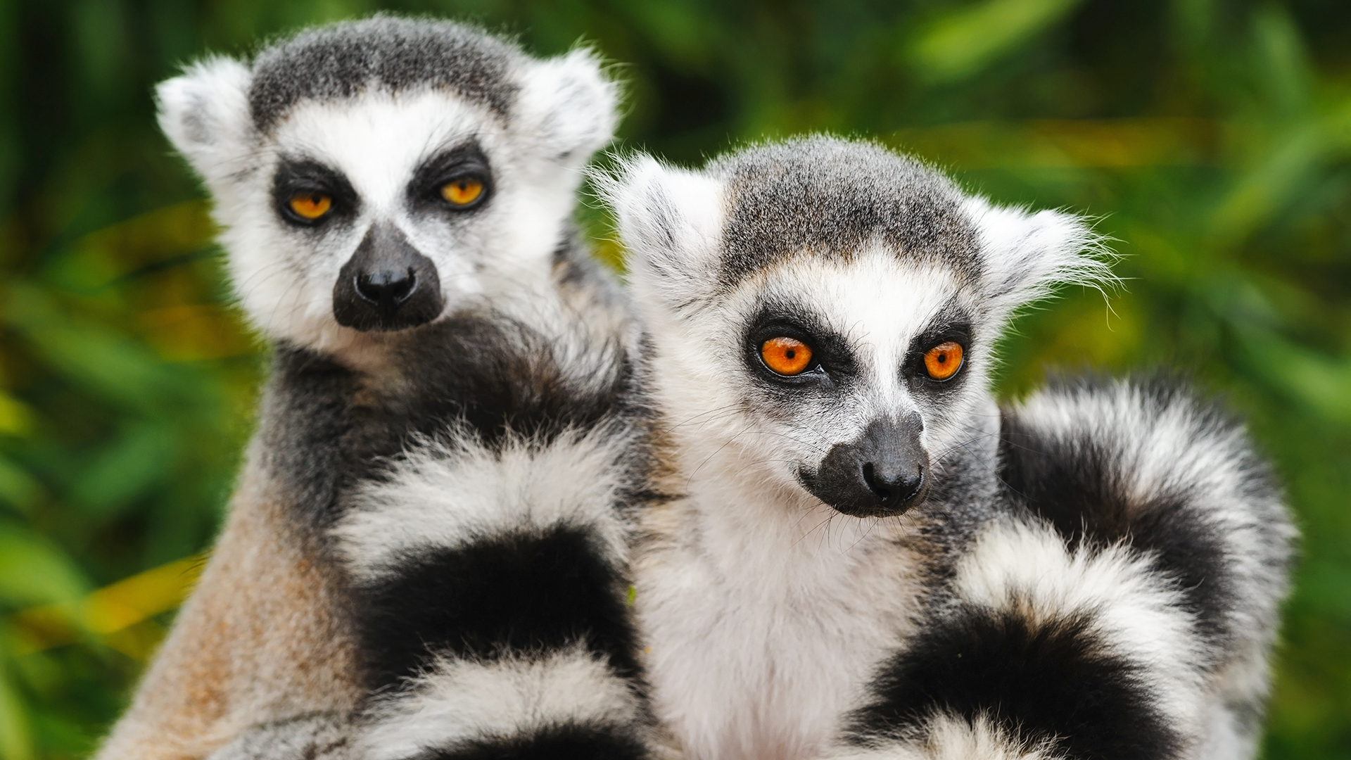 Two ring-tailed lemurs sit together.