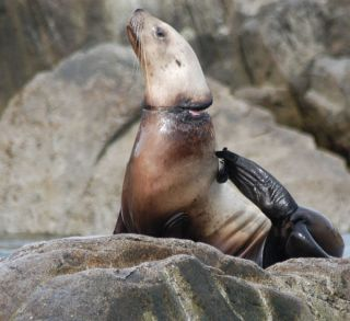 A Steller sea lion has picked up a discarded band that is cutting into its neck.