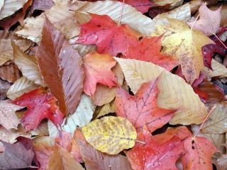 Fall foliage Mixed Leaves
