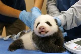 Mei Xiang's 8-week-old cub gets measured during a checkup on Oct. 17, 2013, at the Smithsonian Zoo.
