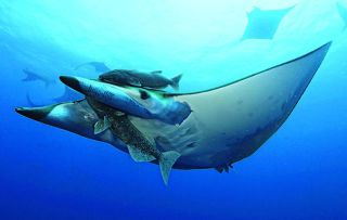 How on Earth do you attach a camera to a slippery devil ray?