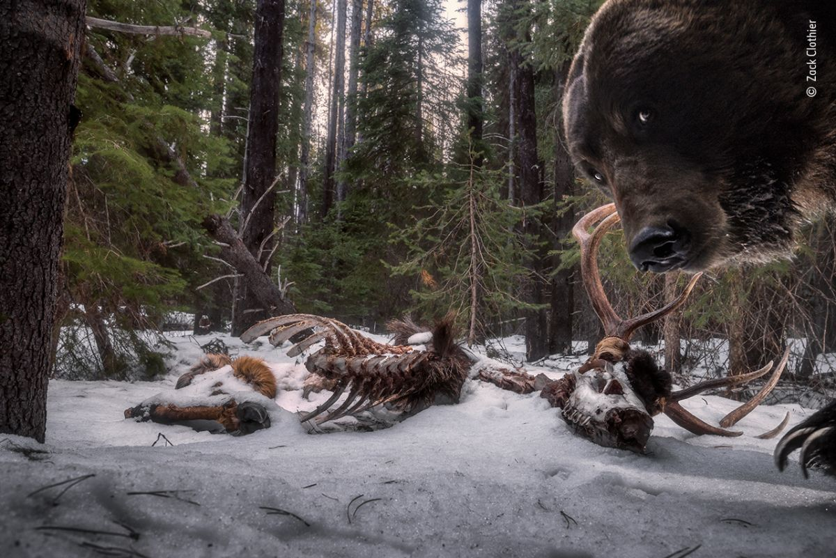 Hungry grizzly bear photo-bombs camera trap in award-winning photo
