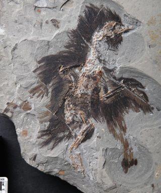 Eoconfuciusornis fossil