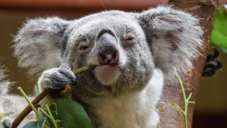 Of the 300 to 500 koalas that are brought to a rehabilitation center in eastern Australia each year, about 40% suffer from chlamydia.