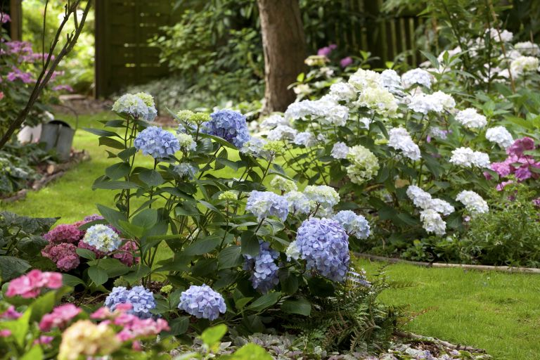 When to prune hydrangeas: mixed hydrangeas in a garden