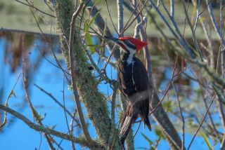 Pileated woodpecker on a tree branch looking for insects.