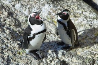 "A braying African penguin — or ""jackass penguin"" — respects the linguistic laws of English while honking at his friend."