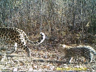 amur leopard and cub in china