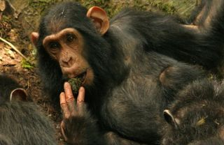 Sonso Chimpanzee Behavior