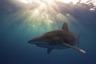 Whitetip shark in sunlight