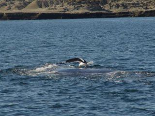 A gull pecks at a whale.