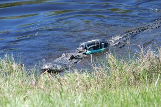A Crittercam unit attached to a 2.6 meter American alligator.