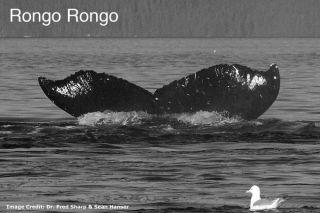 The Legend of Rongo Rongo