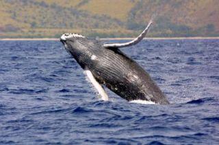 Humpback whale calf breaching