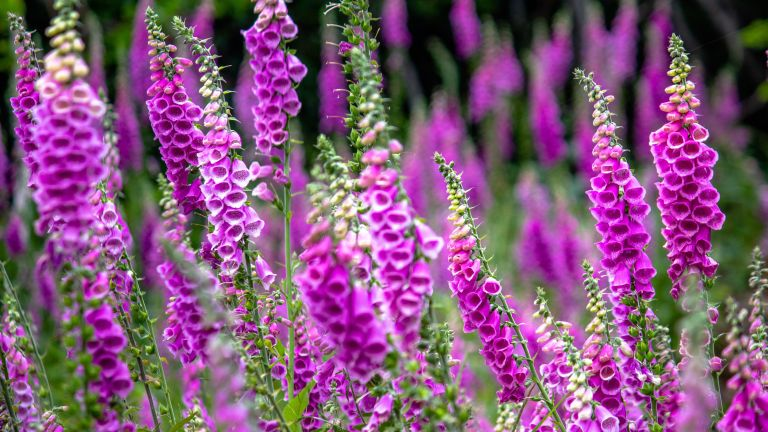 how to grow flowers from seeds such as foxgloves
