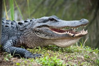 American alligator in the Everglades