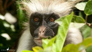 Zanzibar red colobuses (Piliocolobus kirkii) are one of the most endagered species of African primates.